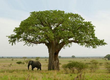 Baobab-a-hot-superfood.jpg